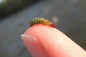Rhyacophila2 5-19-09