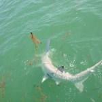 islamorada hammerhead shark