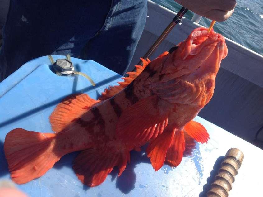 Exotic Rockfish caught on Kodiak Island fishing charter Fish N' Chips Charters in Alaska