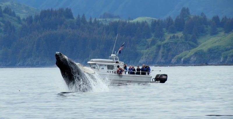 Breaching Whale Kodiak Island Alaska Fish N' Chips Charters Sightseeing & Wildlife Tours