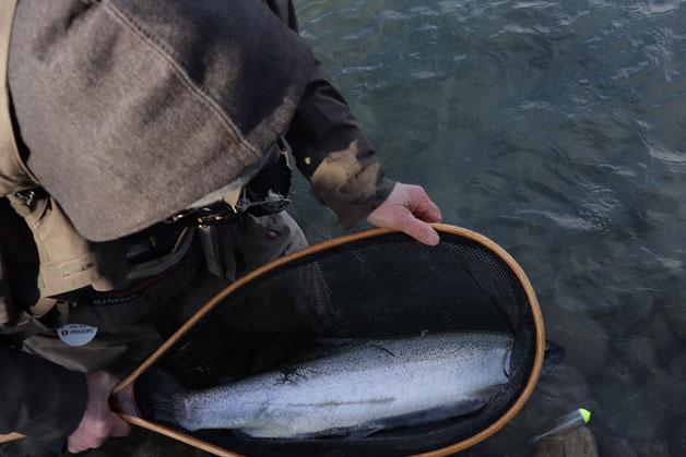 Stave River chum salmon