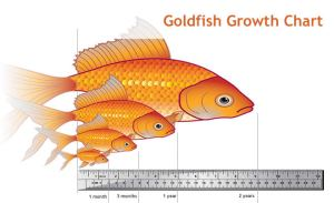 Goldfish Size, Life Expectancy and Tank Remendations