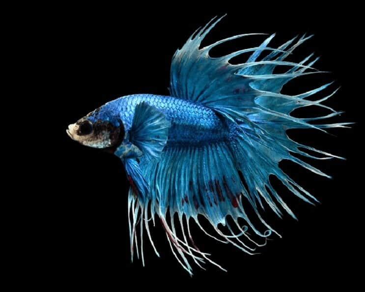 How Long Do Betta Fish Live? 5 Tips to Increase Their ...