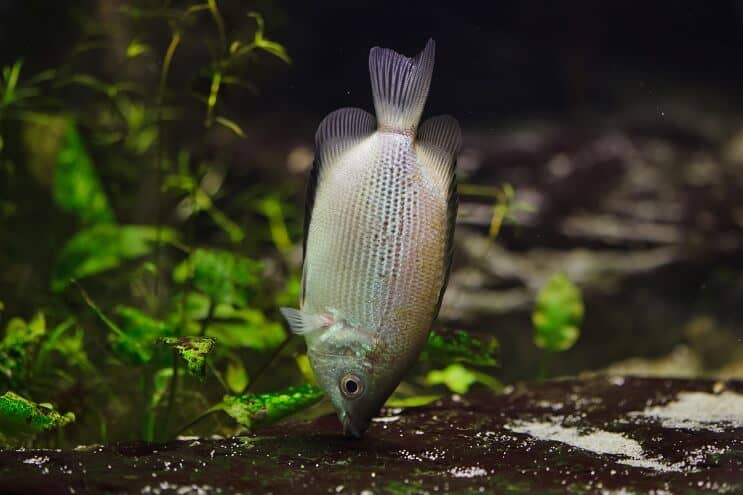 Kissing Gourami Diet