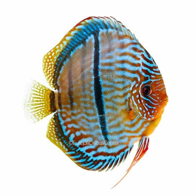 Heckel Cross Discus