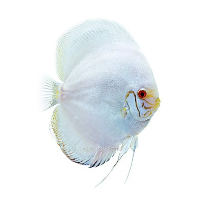 White Butterfly Discus