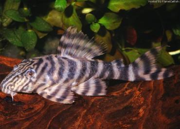 L002 Panaqolus Tiger Peckoltia