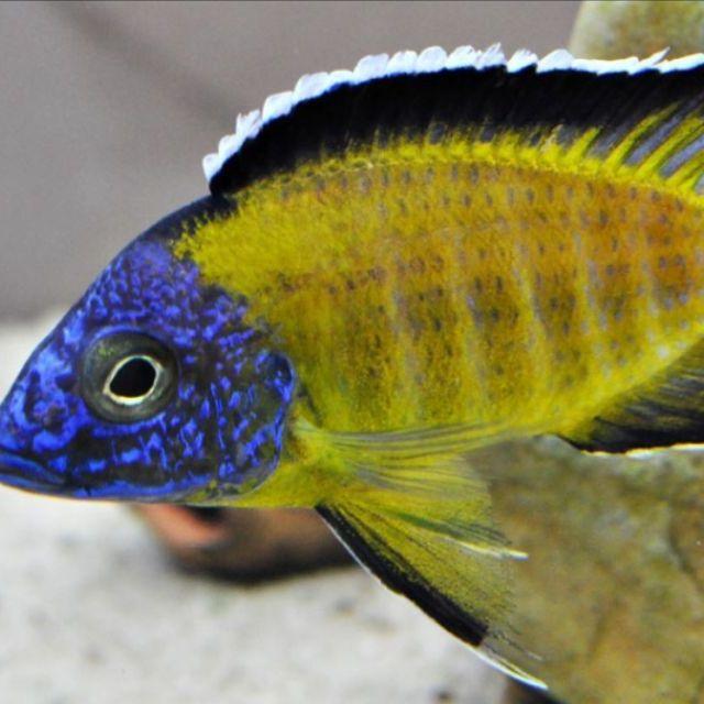 Aulonocara Stuartgranti - Usisya Peacock