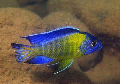 Aulonocara Stuartgranti - Blue Neon Peacock