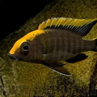 Aulonocara Maylandi - Sulfur head peacock
