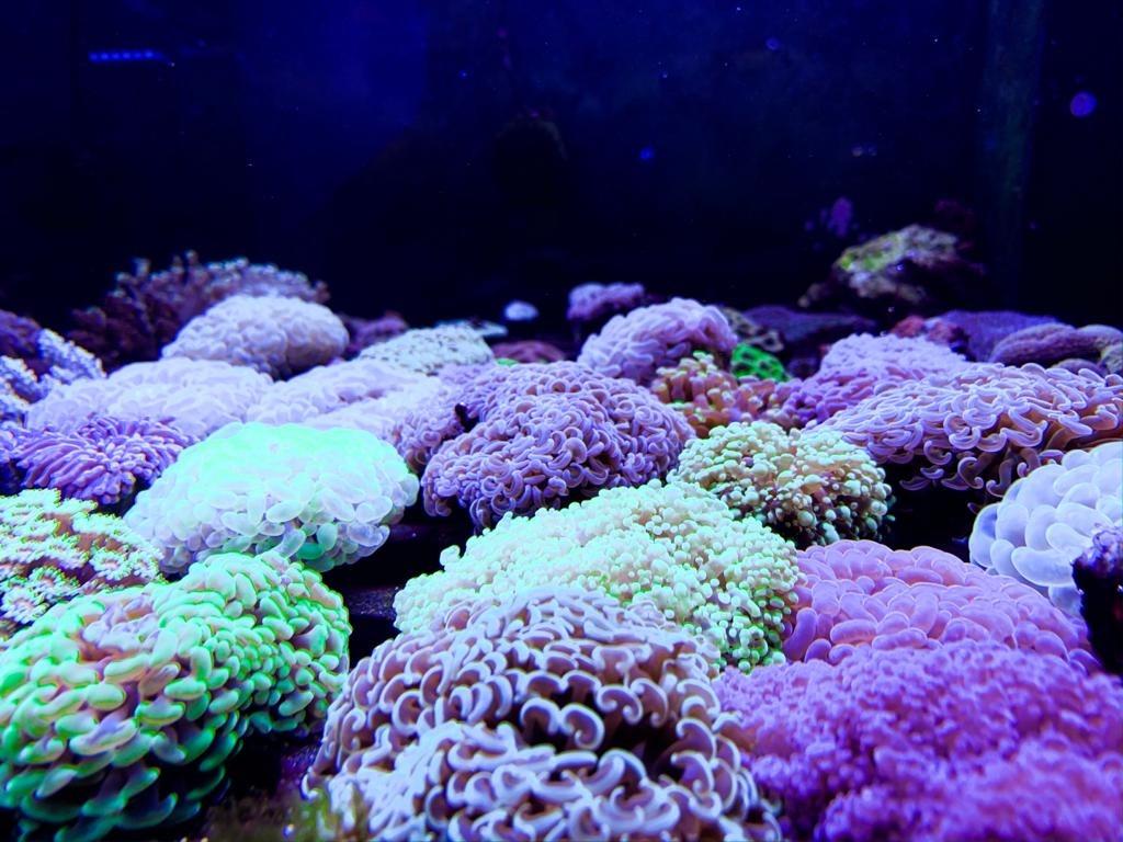 coralli lps