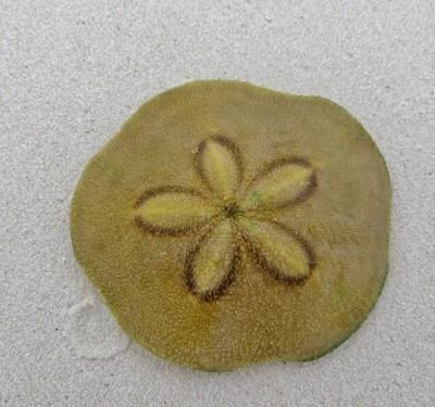 Clypeaster rosaceus - Sand Dollar