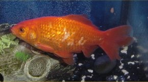 Image result for tubercles on goldfish