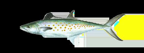 spanish-mackerel-fishing Galveston Texas