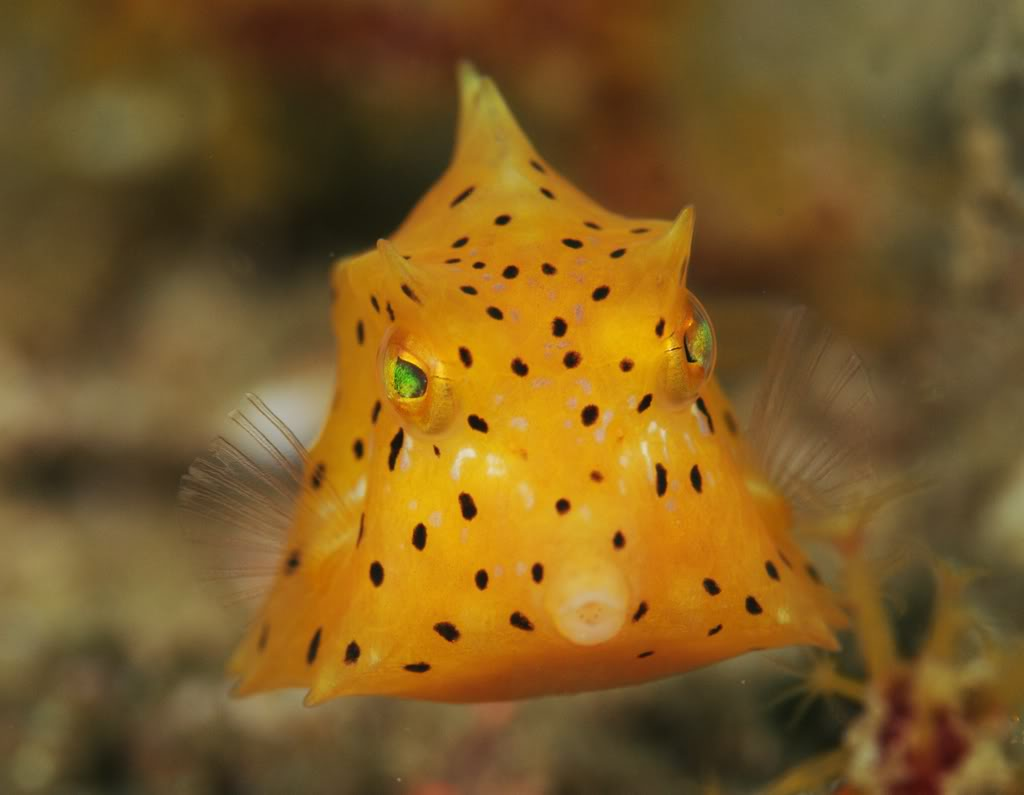 https://i2.wp.com/www.fishwallpapers.com/wallpapers/baby-boxfish-pic.jpg