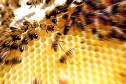 le api, un esempio di ipercomunicazione