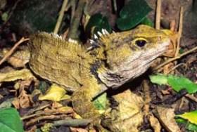 Tuatara o Sfenodonte (Sphenodon punctatus)