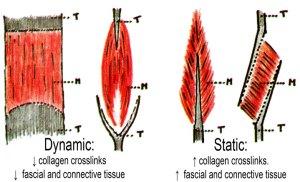 Questa immagine ha l'attributo alt vuoto; il nome del file è muscoli-Statica-dinamica-new-300x182.jpg