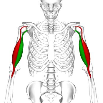 600px-Biceps_brachii_muscle06