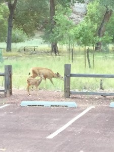 Deer in Zion National Park