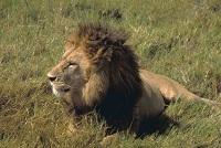 Löwe fertig