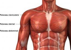 """Résultat de recherche d'images pour """"les différents muscle dans le pectoraux"""""""