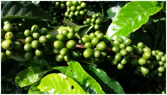 Green coffee Clinical Studies