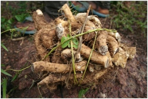 What is Wild Yam Root?