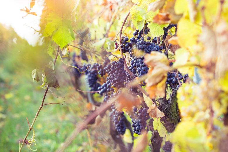 ripe-grapes-in-vineyard-picjumbo-com