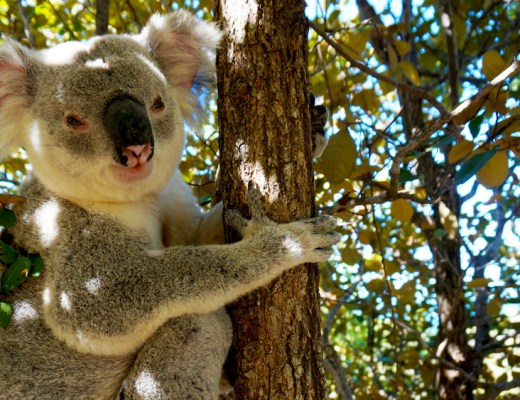 magnetic-island-koala-fit-your-dreams
