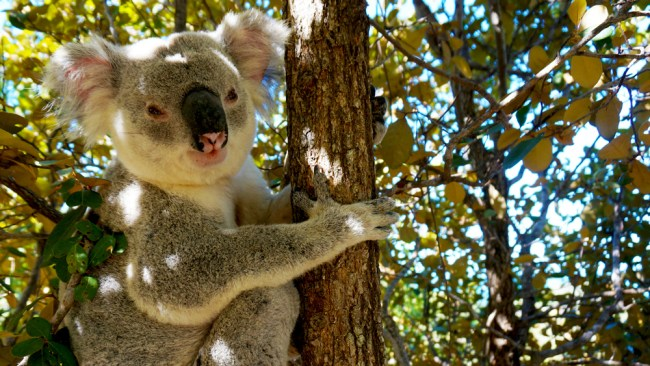 magnetic-island-koala-fit-your-dreams