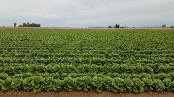 Lettace fields in Yuma, AZ