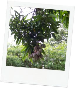 A picture from my mom's mango tree!