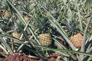 pineapple_plantation