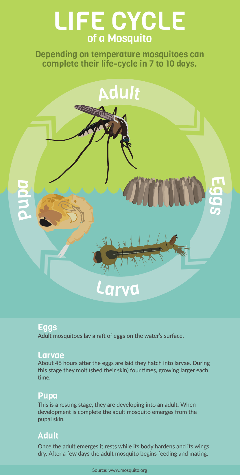Mosquitoes and Illness: Mosquitoes Life Cycle