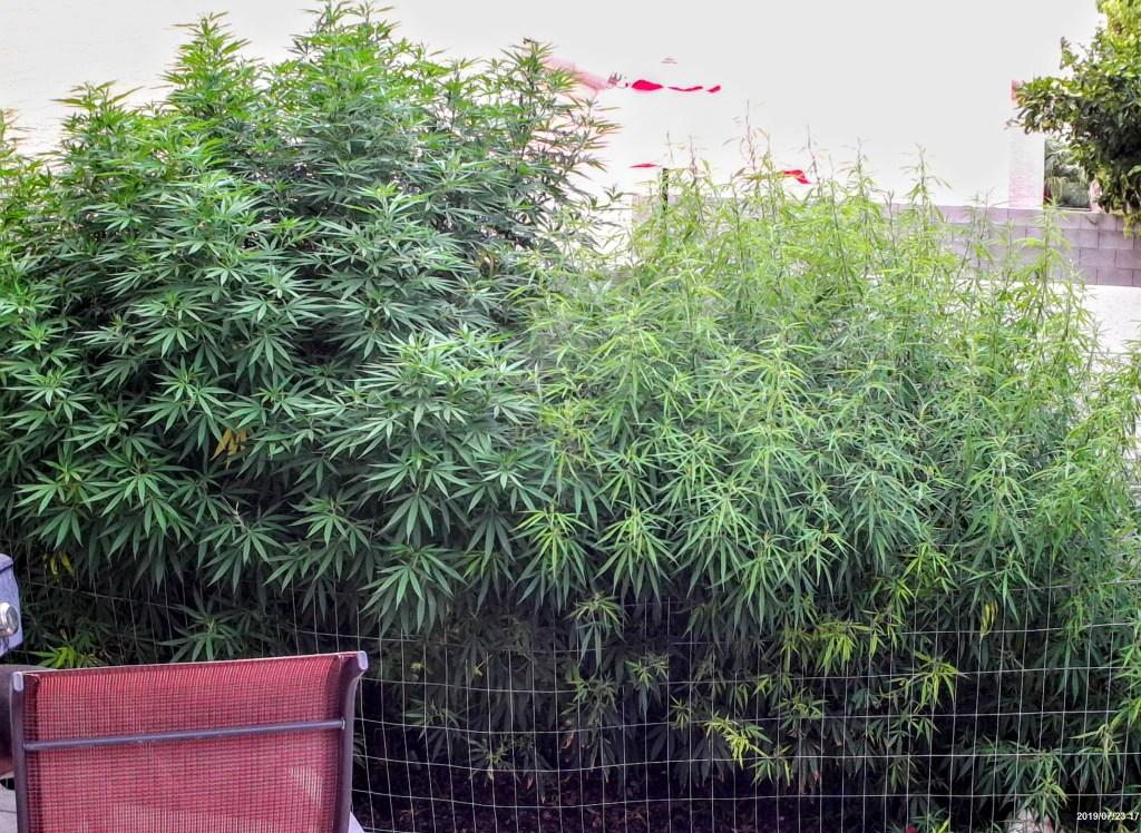 cannabis plant desert grow