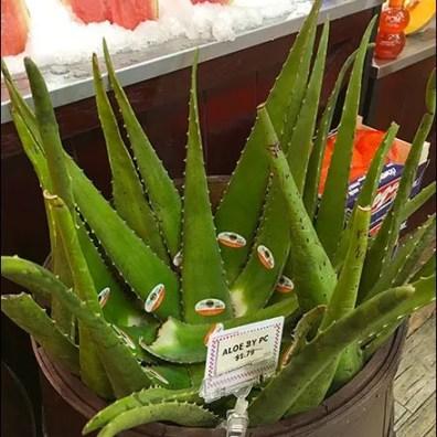 Gourmanoff Fresh Aloe Barrel Bulk-Bins
