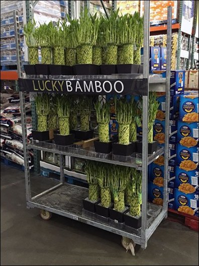 Lucky Bamboo Merchandising Going Mobile at Costco