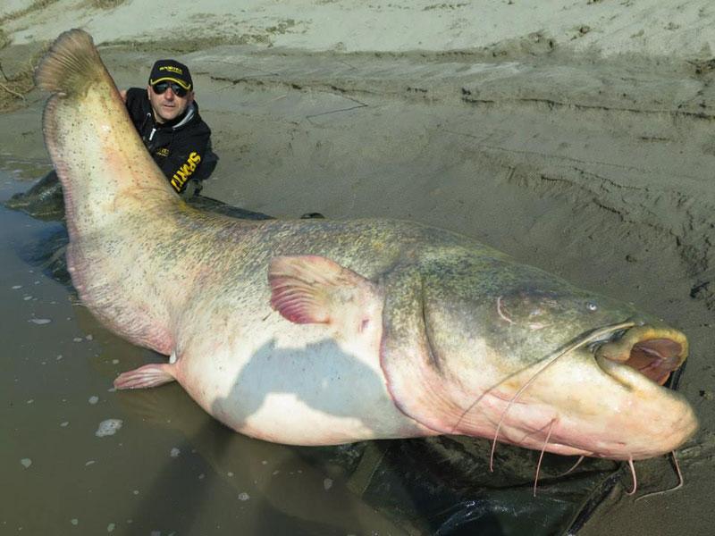 World Biggest Catfish