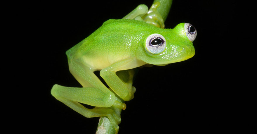 Scientists Discover Real-Life Kermit The Frog