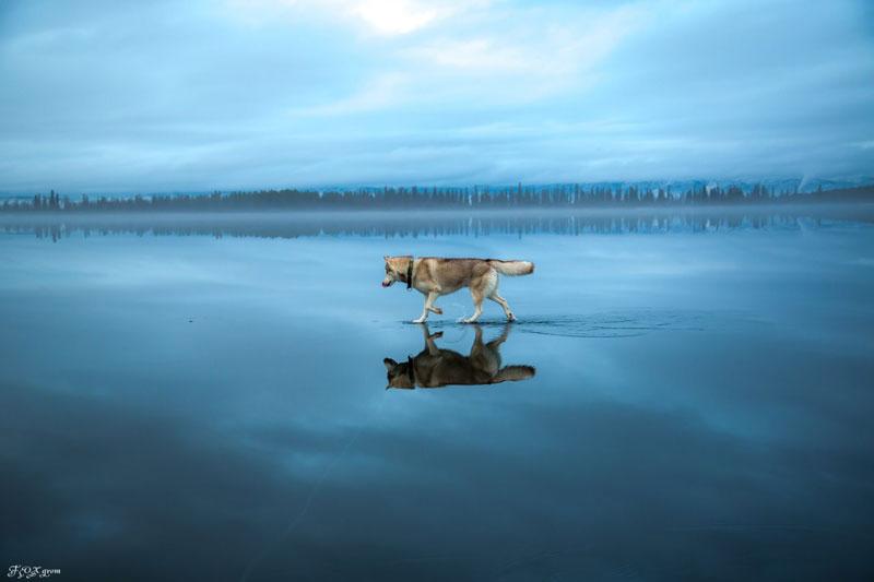 Husky Walks on Frozen Lake After Heavy Rainfall