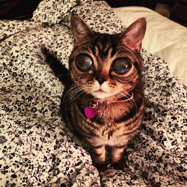 alien cat has the biggest eyes i have ever seen - Biggest House Cat In The World 2013