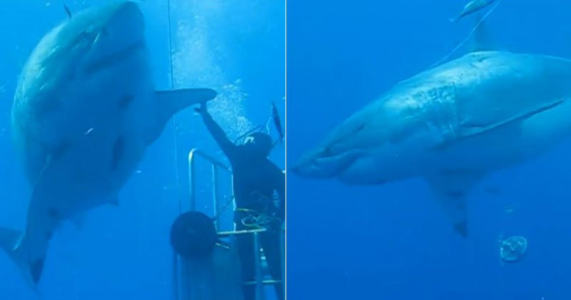 One of the Largest Great Whites Ever Filmed