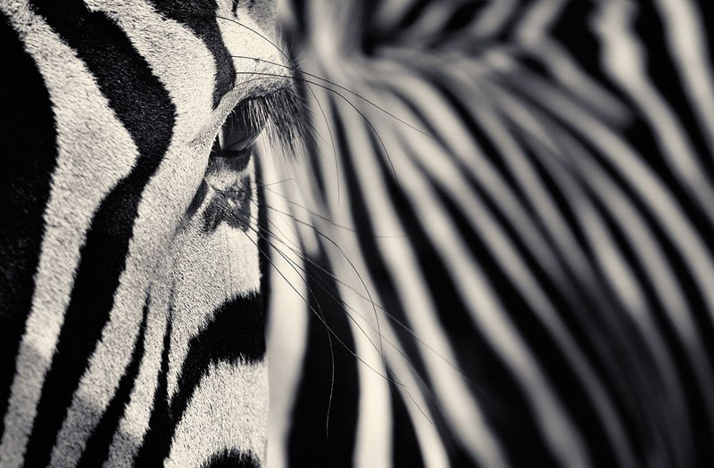 black and white animals (7)