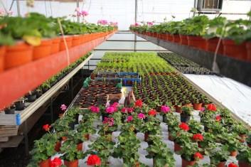 Härnevi plantskola drar fram mycket egna plantor