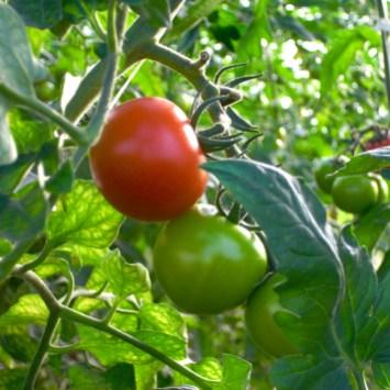Tomat Sörgården grönt
