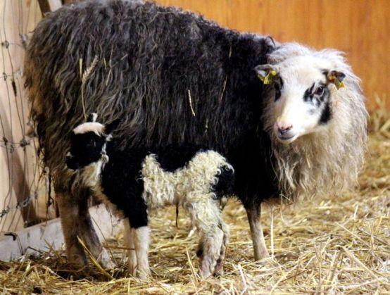 Gulla stallet lamm