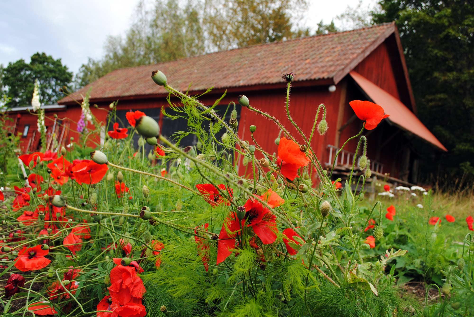 Poppy at Sunnansjö Farm