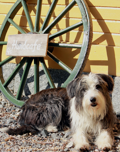 GulaStallet hund