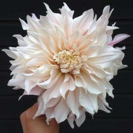 Dahlian Café au Lait is one of the beauties of late summer.